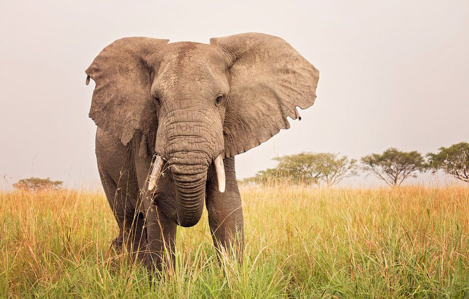 Olifant in de savanne in Oeganda van Robert van Hall