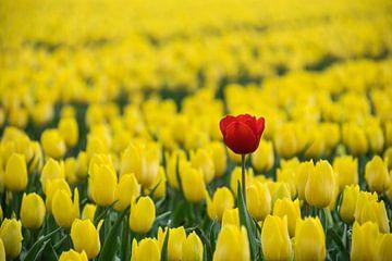 Rood en veel geel, tulpenveld van Patrick Verhoef