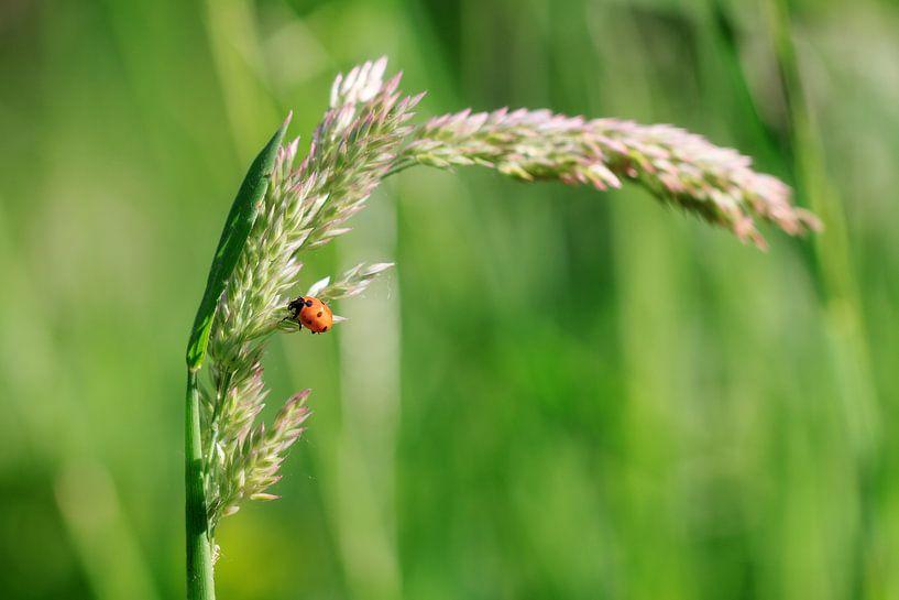 Lieveheersbeestje op een grashalm van Dennis van de Water