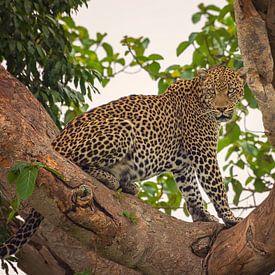 Luipaard in Ishasha, Oeganda von Robert van Hall