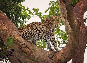 Luipaard in Ishasha, Oeganda van