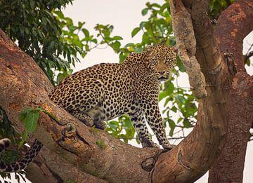 Luipaard in Ishasha, Oeganda van Robert van Hall
