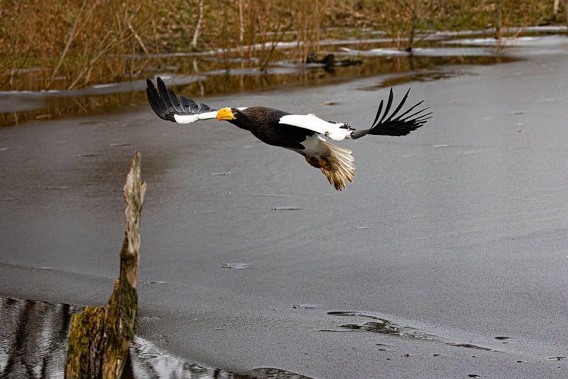 Riesenseeadler von Robin Scholte