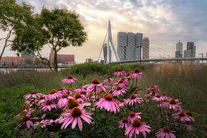 Erasmusbrug met bloemen tijdens zonsopkomst