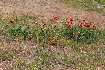 rode bloemen in het veld van Danielle Vd wegen