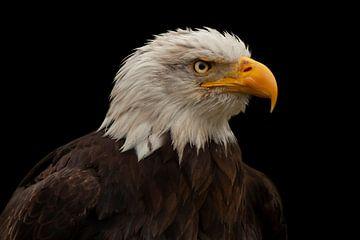 Pygargue à tête blanche, oiseau de proie en Amérique du Nord sur Gert Hilbink