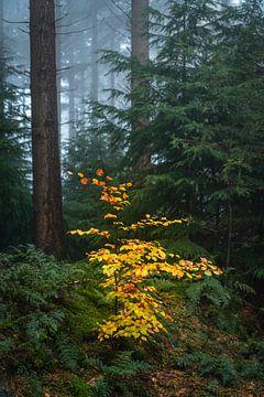 Kleine helle Buche in einem nebligen Pinienwald von Sjoerd van der Wal