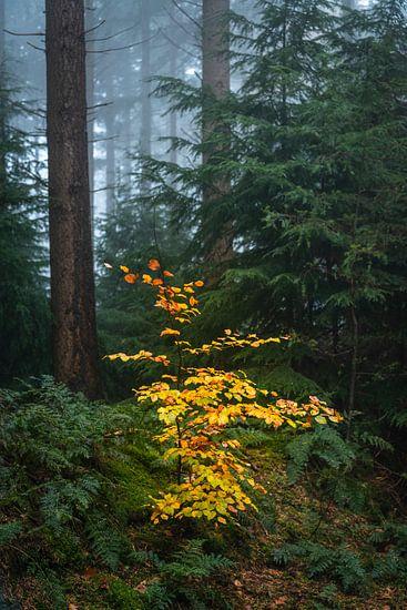 Kleine kleurrijke beukenboom in een mistig donker dennenbos