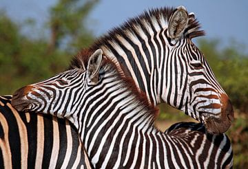 Loving Zebras - Africa wildlife van W. Woyke