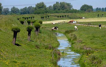 koeien in de wei langs sloot met knotwilgen in de bernisse von Compuinfoto .