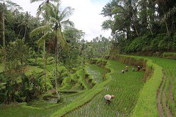 Boeren op rijstvelden van Kevin Kardux