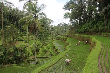 Boeren op rijstvelden von Kevin Kardux