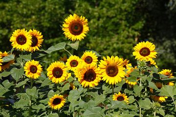 Sonnenblumen, Sonnenblume,  (Helianthus annuus)