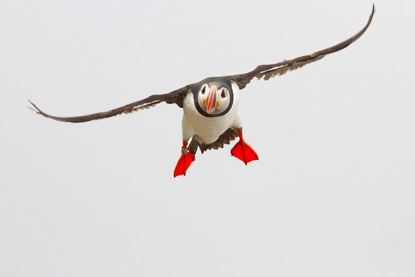 Aanvliegende papegaaiduiker van Sam Mannaerts Natuurfotografie