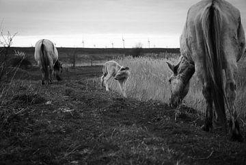 Fohlen - Slikken van de Heen (Zeeland) von Maurice Weststrate