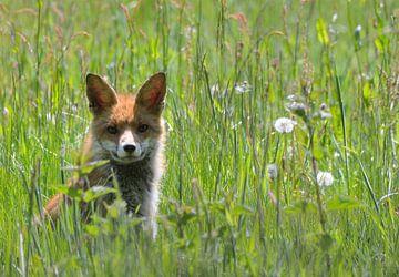 Jonge vos in het gras van Petra De Jonge
