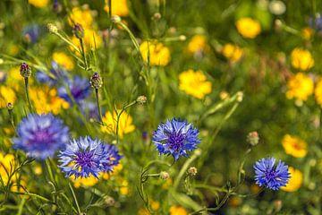 Blau blühende Kornblumen aus der Nähe von Ruud Morijn