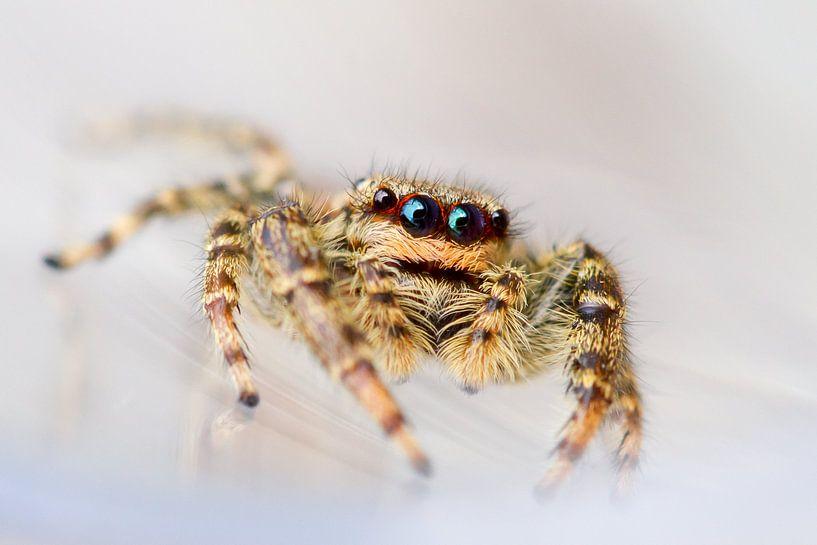 Springspin / Jumping spider van Harm Rhebergen