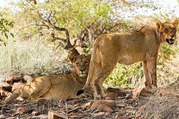 Zwei Löwinnen nach der Jagd von Britta Kärcher