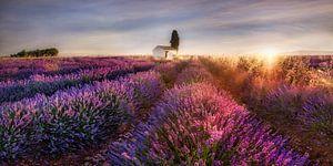 Lavendelveld in de Provence in Frankrijk in het ochtendlicht.