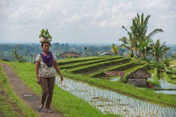 Balinese op de Jatiluwih rijstvelden van