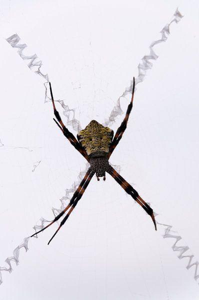 Spin in zigzag web van Adri Vollenhouw