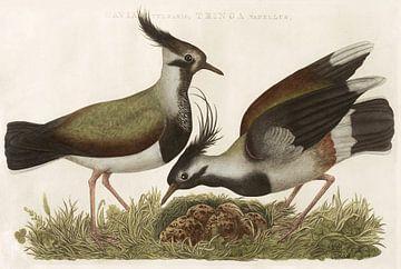 Kievit (Gavia vulgaris, Tringa vanellus) van Nederlandsche Vogelen, Cornelis Nozeman von Teylers Museum