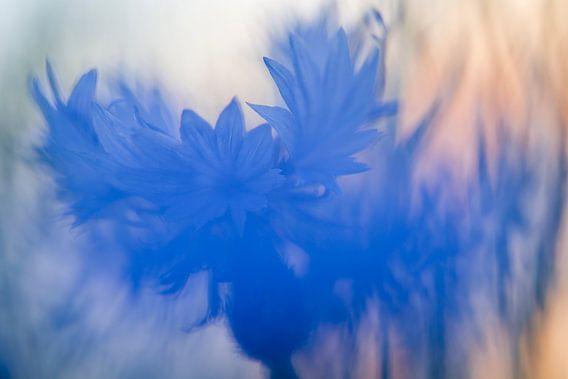 wonderful cornflower van jowan iven