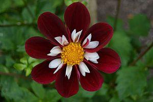 Chrysanthemum, Rood/wit