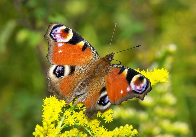 Vlinder (Pauwoog) van Frank Herrmann