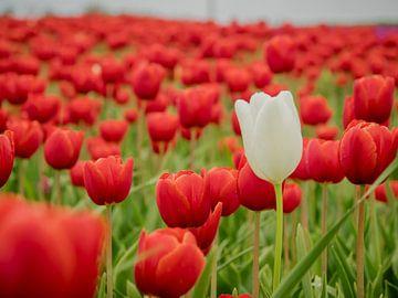 Champ de tulipes rouges sur