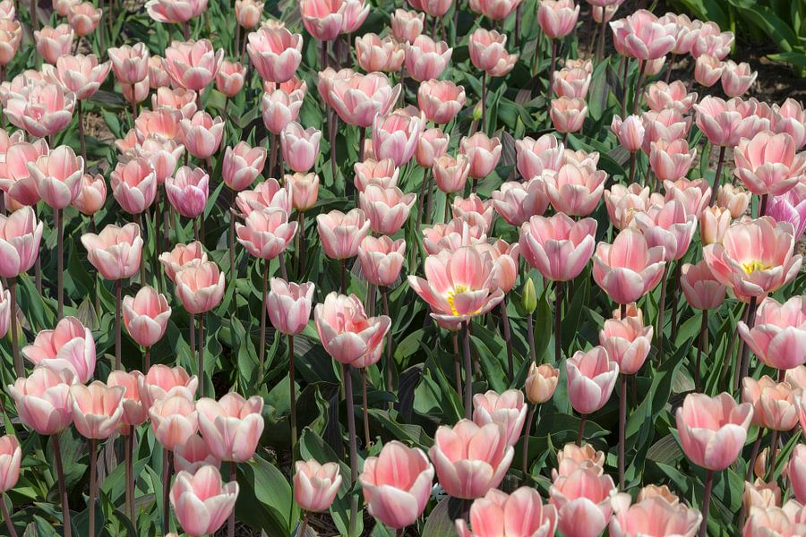 Veel roze tulpen