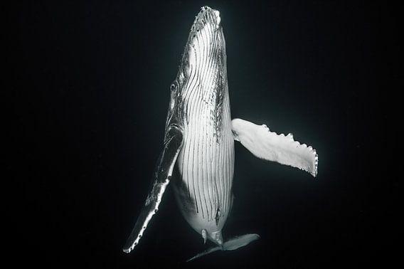 Een pasgeboren walvis komt boven om de longen met verse lucht te vullen