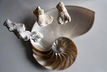 Schelp en wit koraal