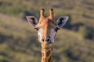 Close-up van een giraf Zuid Afrika van John Stijnman