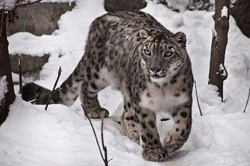 Ein Schneeleopard auf dem Schnee, eine Bestie auf weißem Hintergrund, eine große Katze mit einem kla von Michael Semenov
