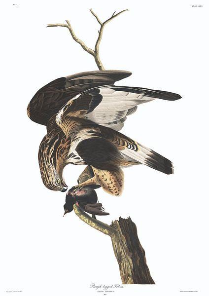 Ruigpootbuizerd van Birds of America