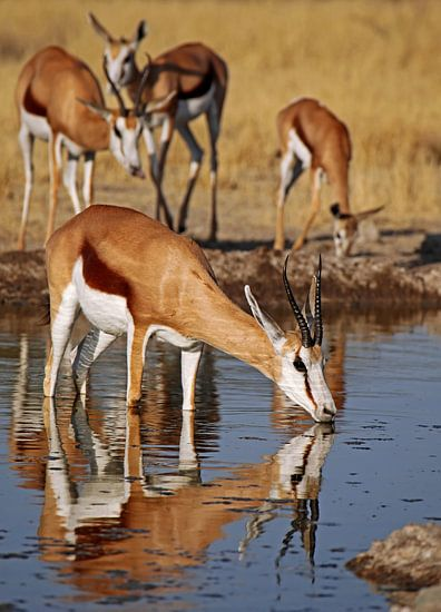 Drinking Springbok - Africa wildlife