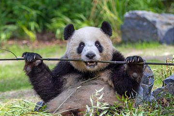 Panda van Heiko Lehmann
