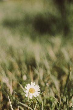 Gänseblümchen im Gras von Jelly Jansje