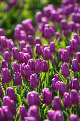 Paars bollenveld met bloeiende tulpen
