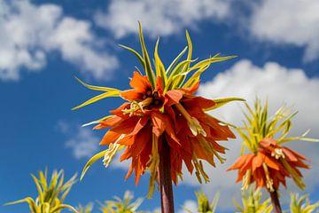 Orange Kaiserkrone von Nathalie Doesburg