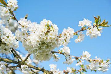 Birnenblüte im Frühling von Fred Roest