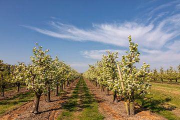 Boomgaard met lente bloesem, blauwe lucht en sluierwolken