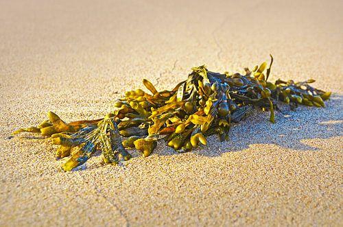 Zeewier op het strand van Noordwijk van