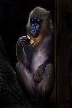 Ein schöner Madrill-Affe mit blauer Schnauze und goldenen Haaren frisst bescheiden im Dunkeln, ihre  von Michael Semenov