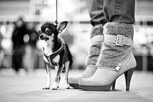 Chihuahua en hoge hakken van