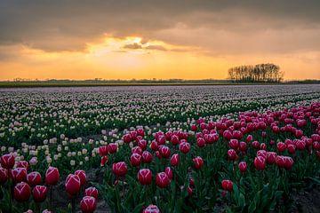 Tulipfield von Peter Deschepper
