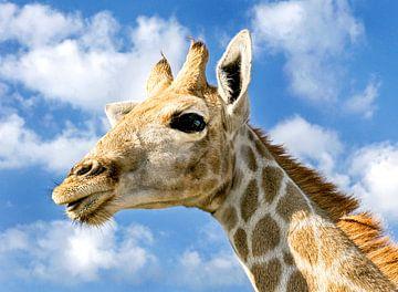 Jonge Giraffe in Namibië 2 von Jan van Reij