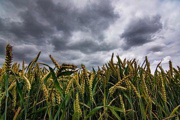 Getreidefeld mit bedrohlicher Luft von Dirk Keij-Bron